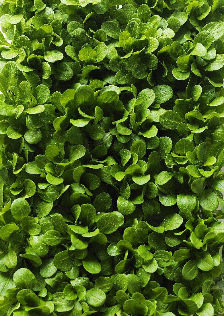 Stomatium agninum (young plants)