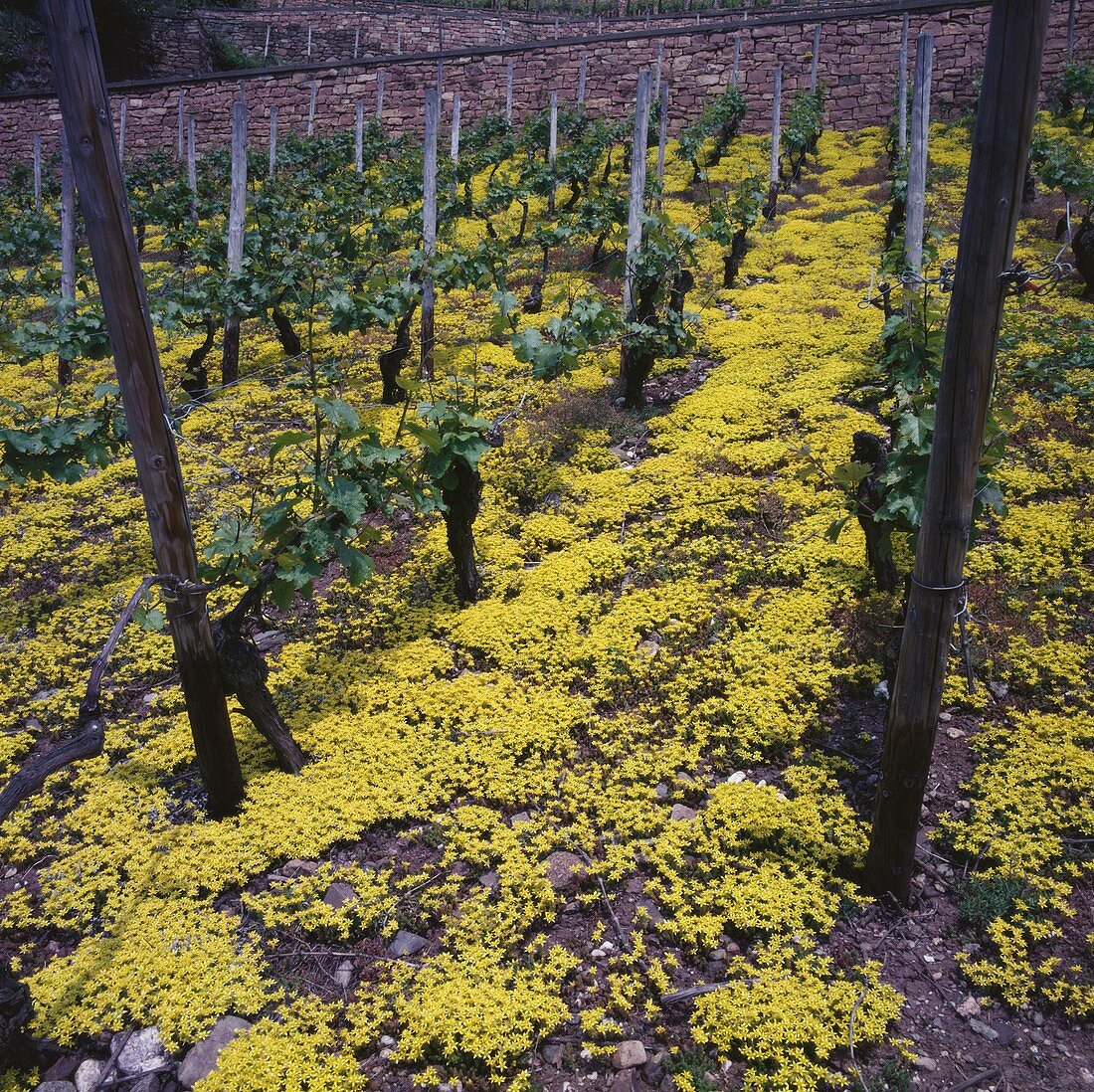 Ecological viticulture, Nahe, Germany