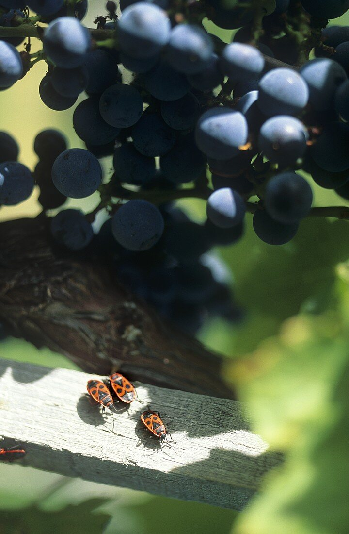 Organic grapes and beetles, S. Tyrol, Italy