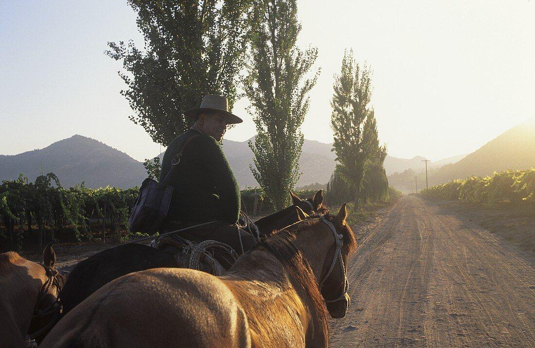 Wine-grower riding through vineyard, Santa Rita, Chile