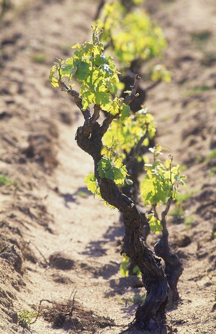 Old vine in sandy soil, Sardinia, Italy