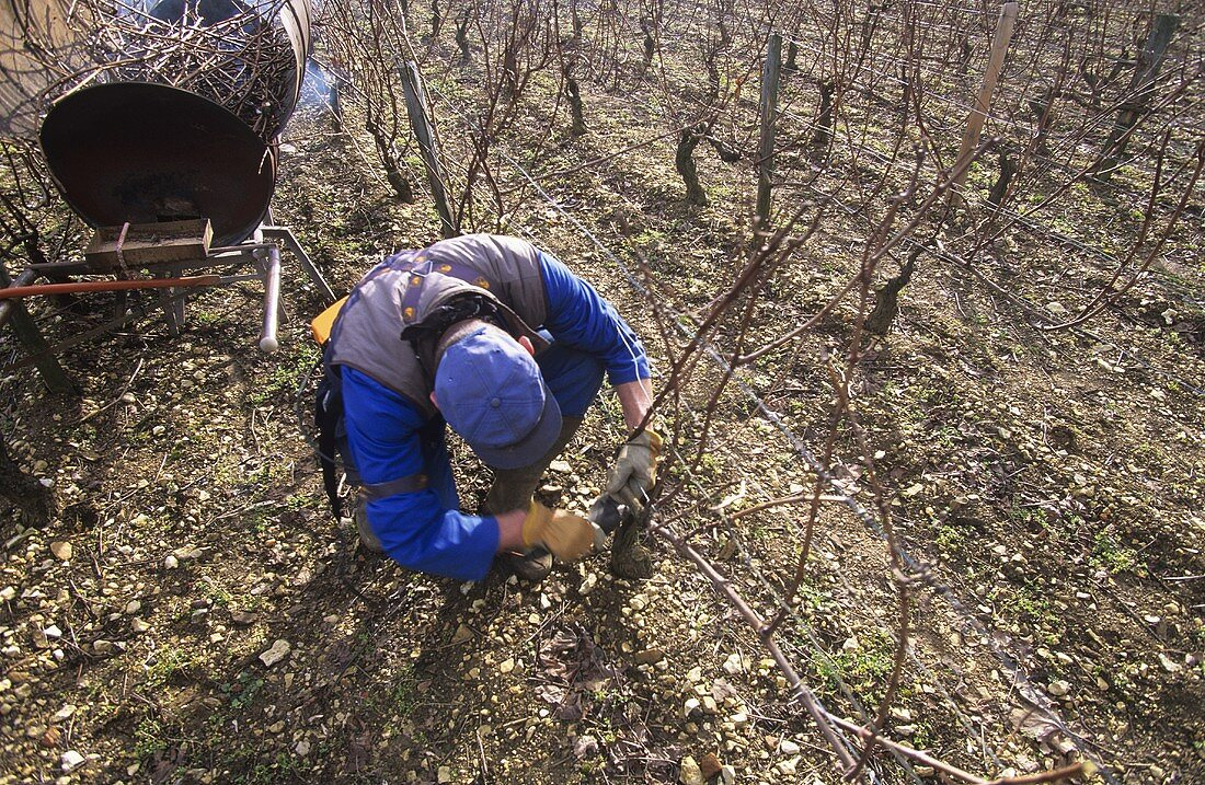 Pruning grape vines using electric pruner