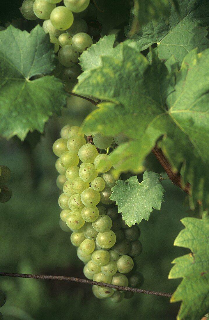 Weissburgunder grapes, Austria