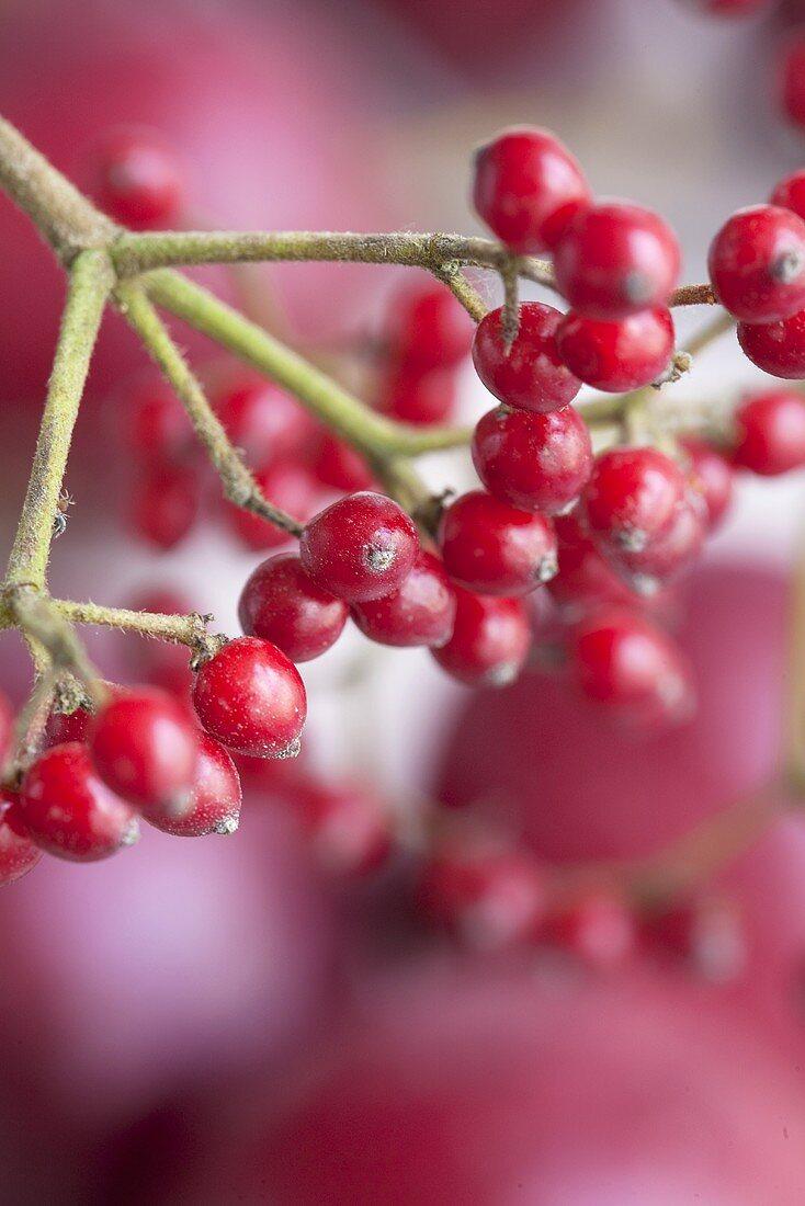 Viburnum twig with berries