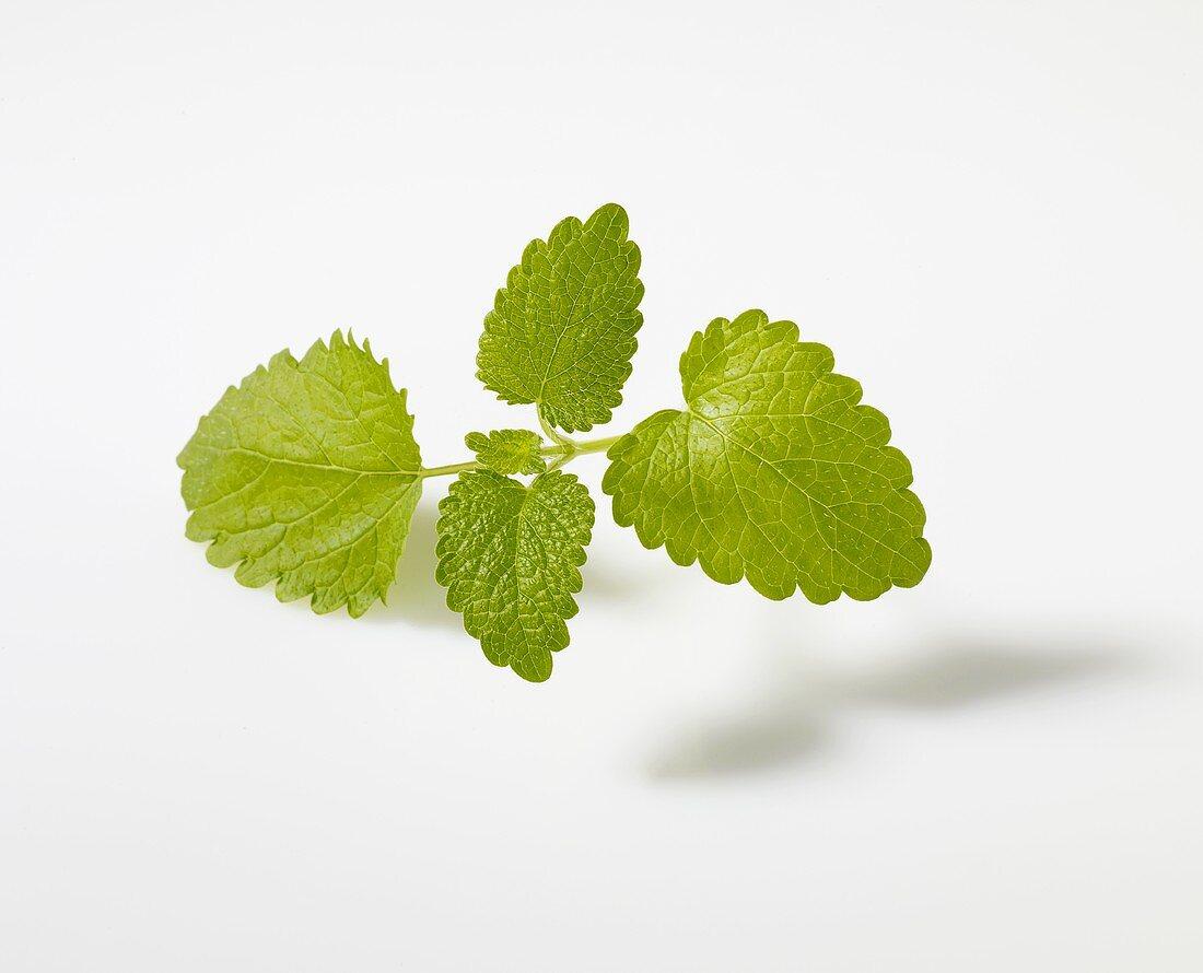 Lemon balm (Melissa officinalis)