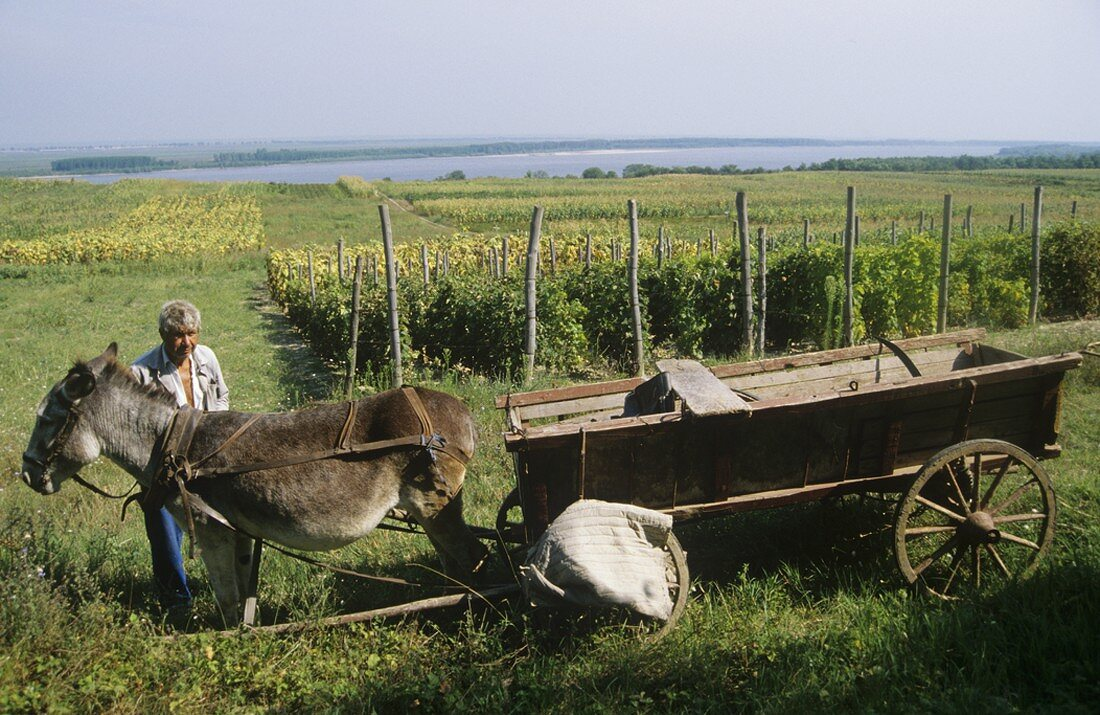 Farmer with donkey cart by vineyard on Danube, Svishtov, Bulgaria