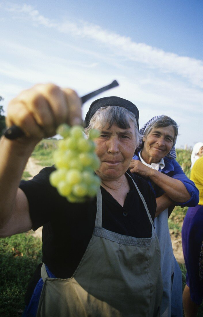 Picking Chardonnay grapes for the Vinprom in Rousse, Bulgaria