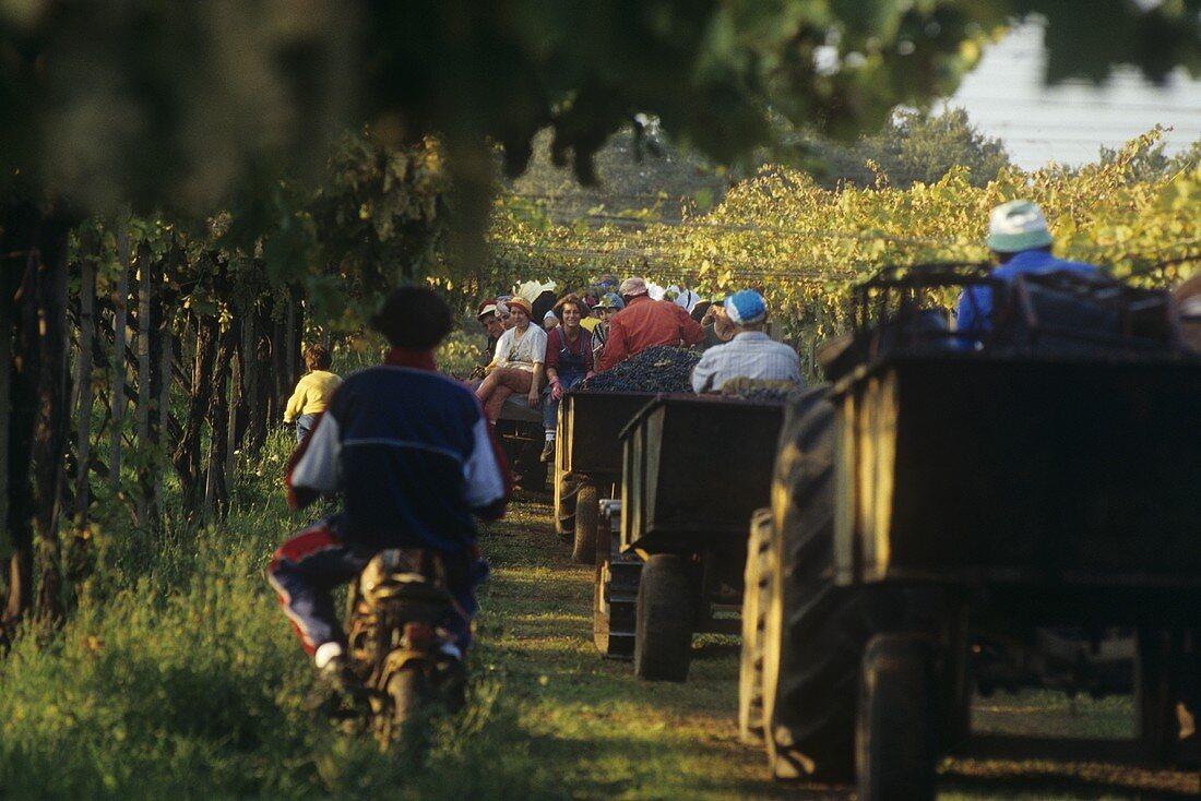 Grape harvest, Colli Etruschi Viterbesi DOC, Lazio, Italy