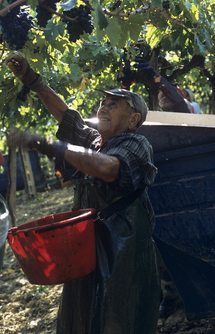 Picking Montepulciano grapes, Villa Medoro estate, Italy