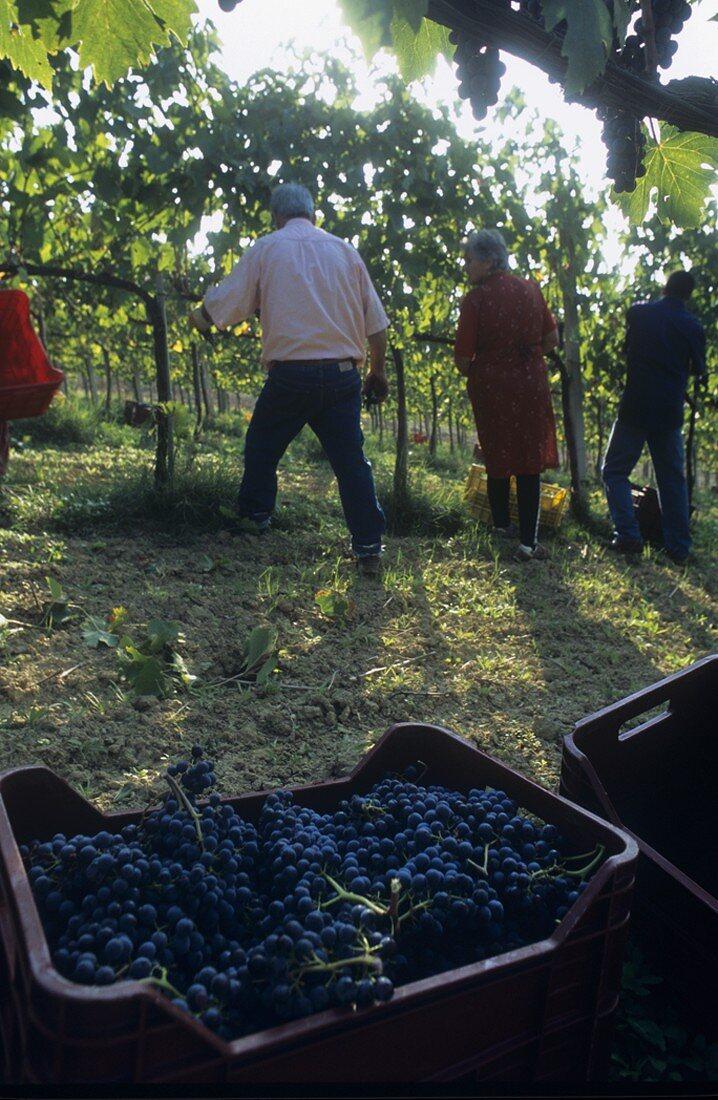 Picking Montepulciano grapes, Villa Medoro estate, Italy