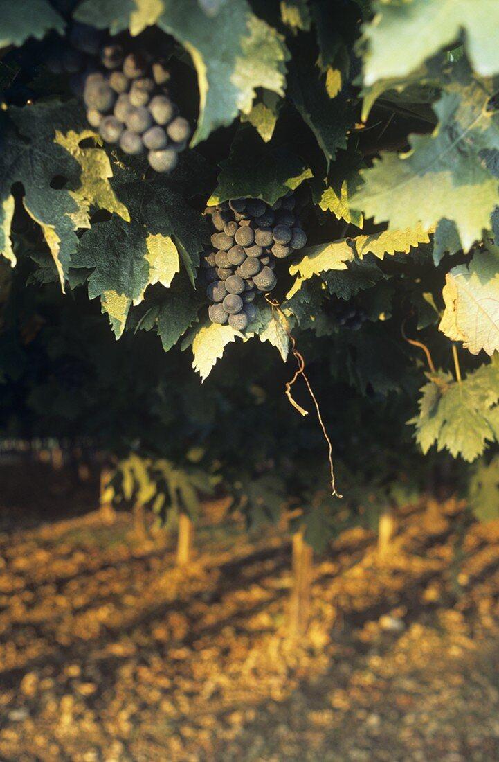Montepulciano grapes, Valentini Estate, Abruzzo, Italy