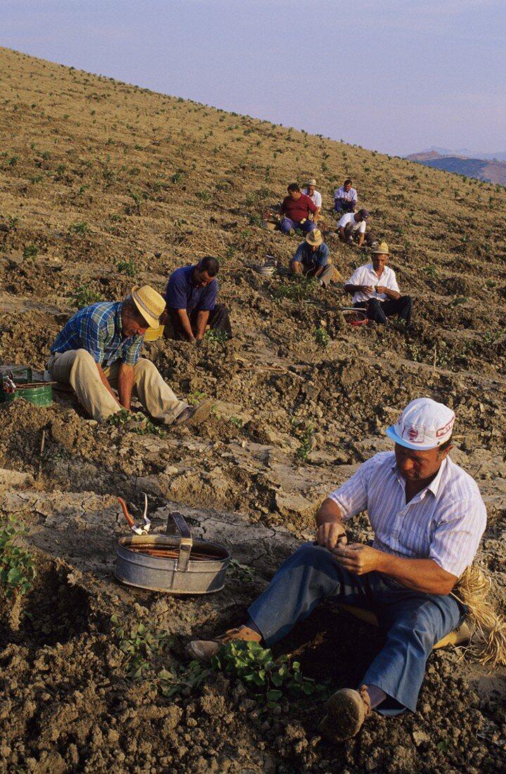 Grafting onto rootstocks, Cirò wine region, Calabria, Italy