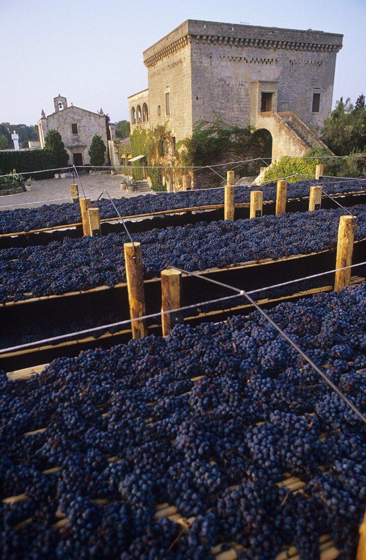 Negroamaro Trauben für Graticciaia, Agricole Vallone, Apulien, Italien