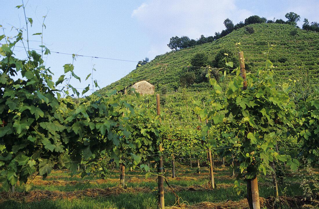 Vines on hillside near Conegliano, Prosecco region, Veneto, Italy