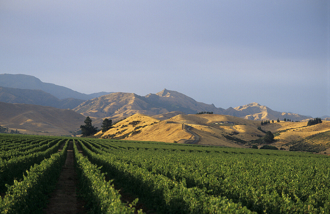 Landscape of vines, Brancott Estate, Marlborough, N. Zealand