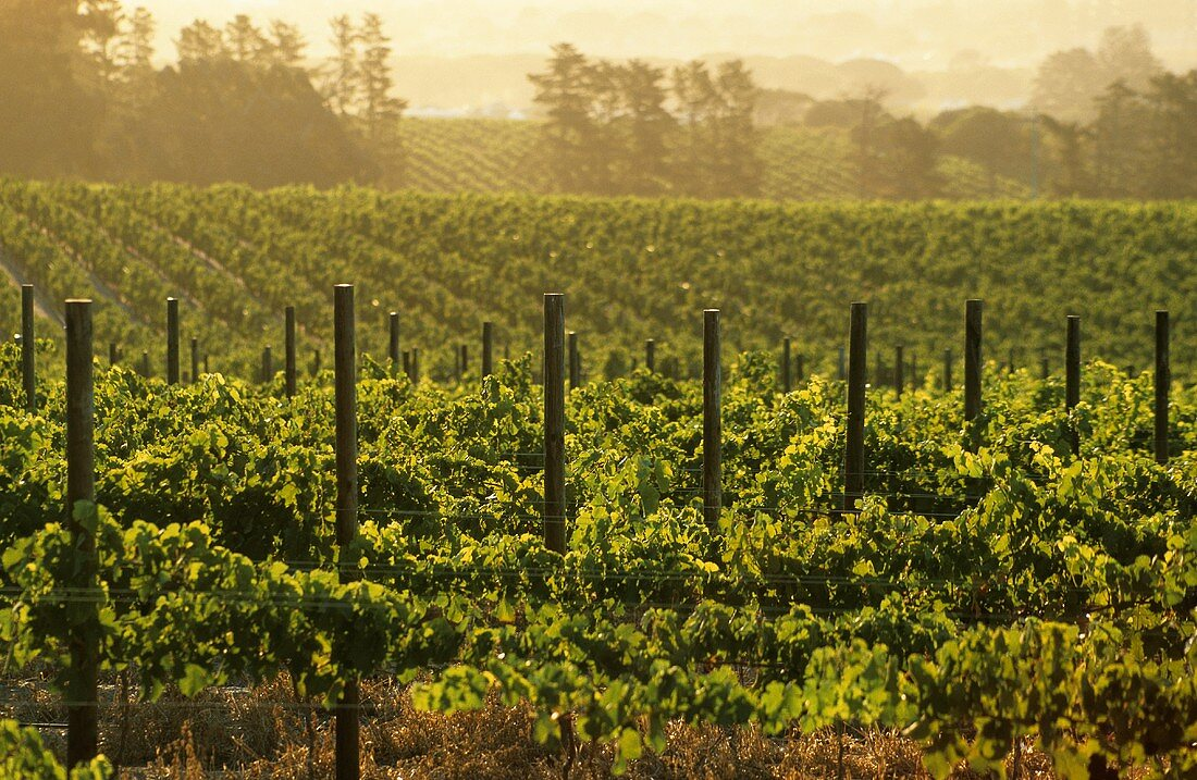 Vineyard of the Fairview Estate, Paarl, S. Africa