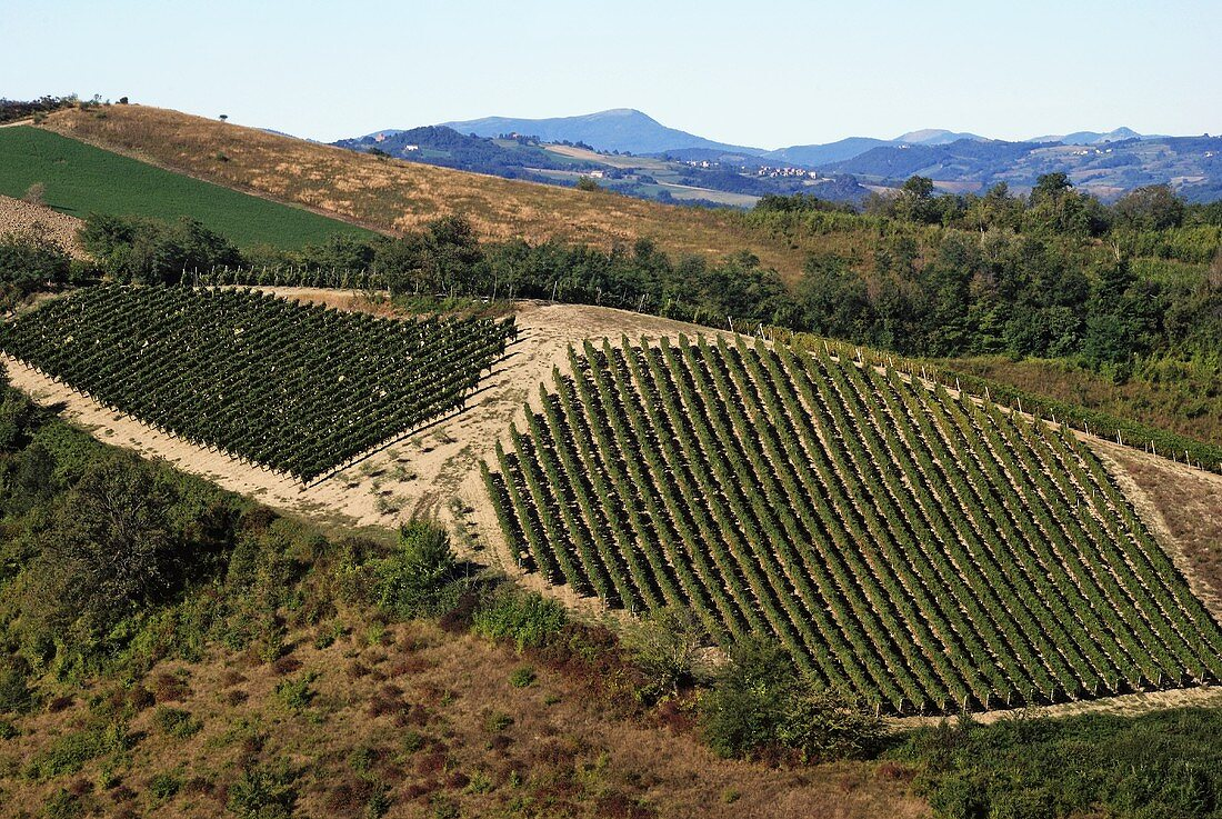 Vineyard in Bacedasco, Piacenza, Emilia-Romagna, Italy