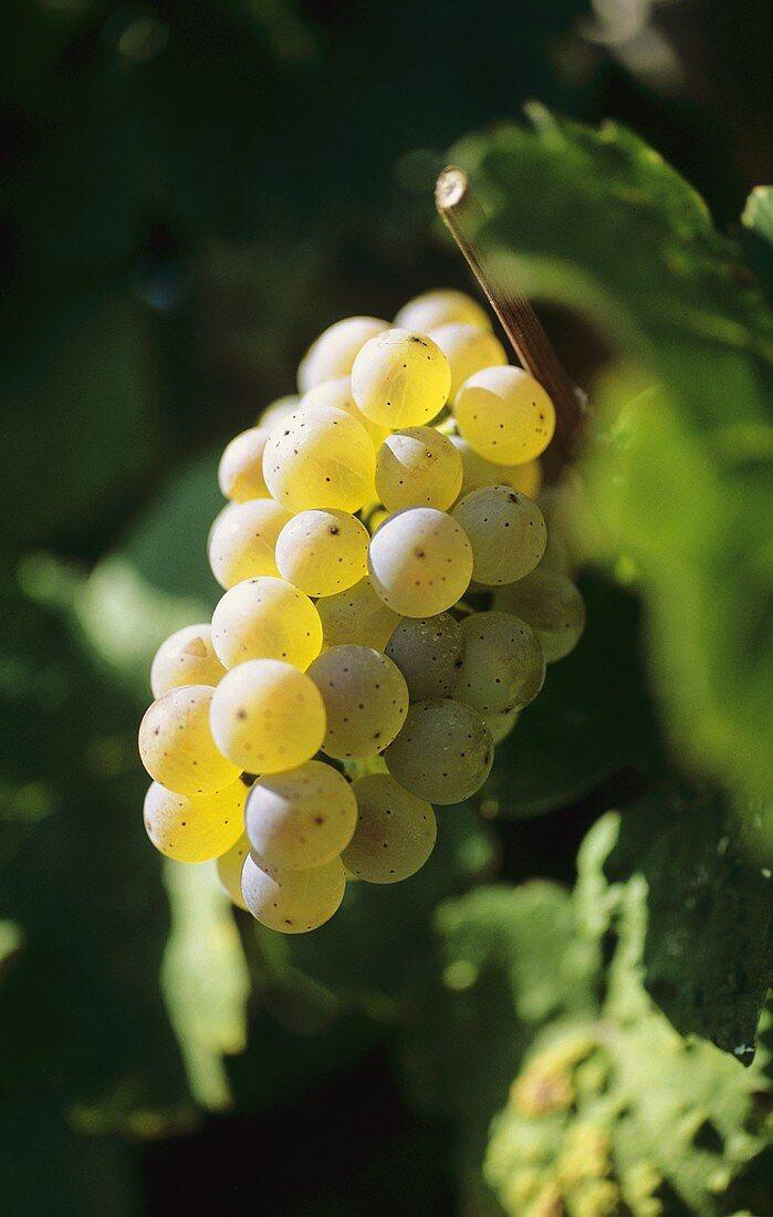 Weissburgunder grapes (Pinot Blanc)