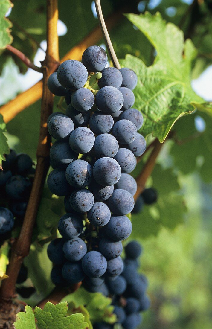 Bobal grapes hanging on the vine