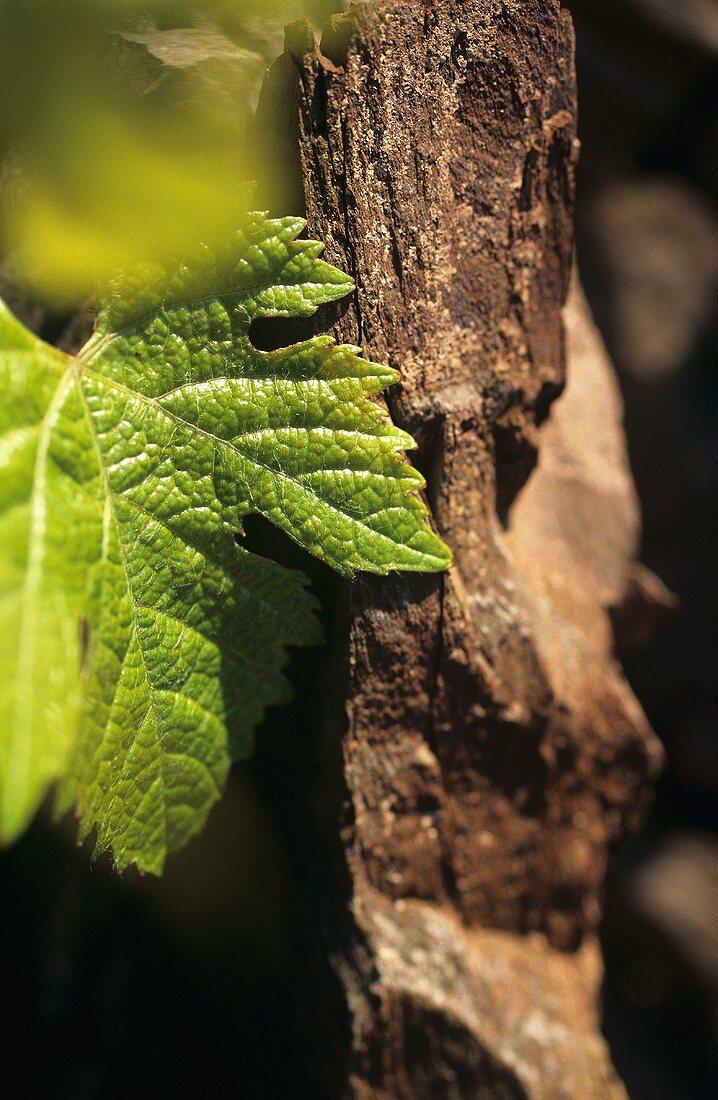 Devonian slate with vine leaf, Saar, Germany