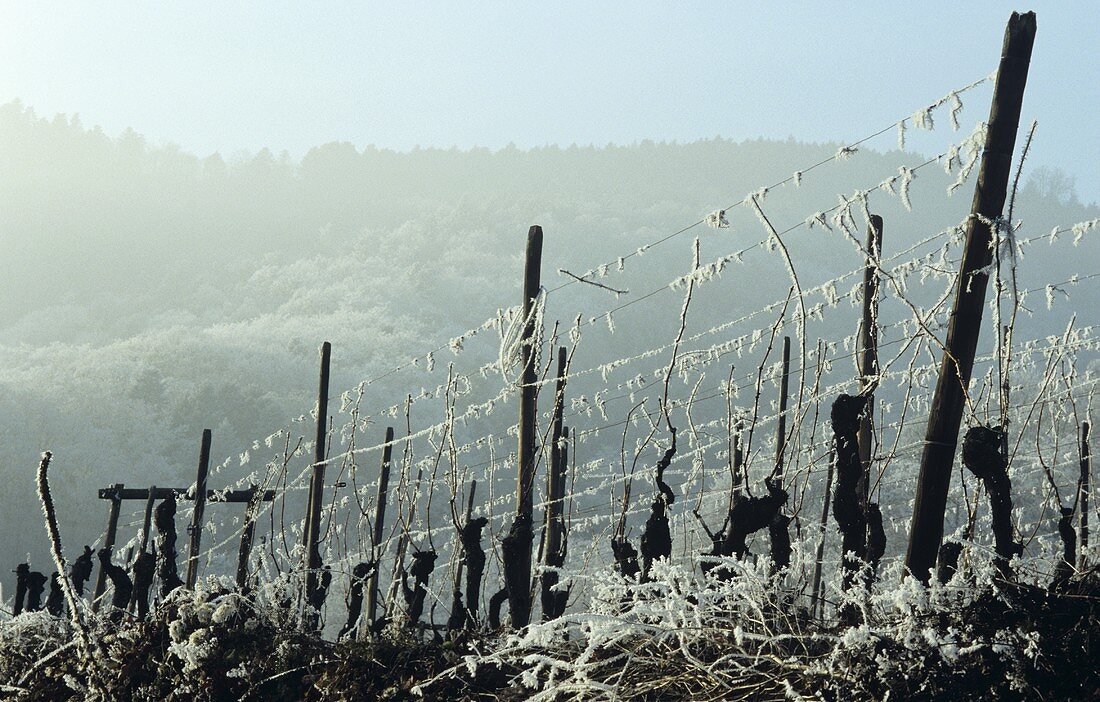 Row of vines with hoar frost, winter in Alsace, France