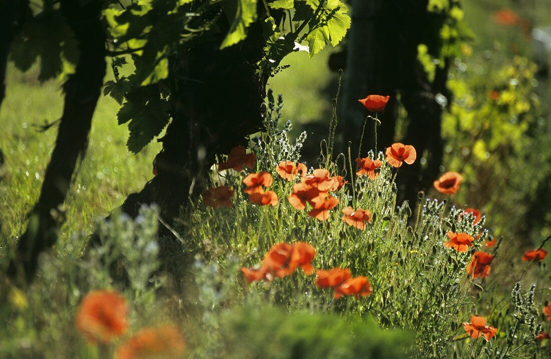 Old vines with poppies in the foreground