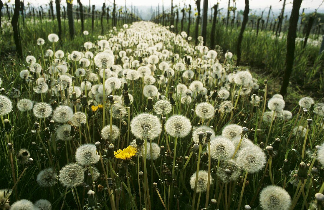 Rows of vines with dandelion clocks