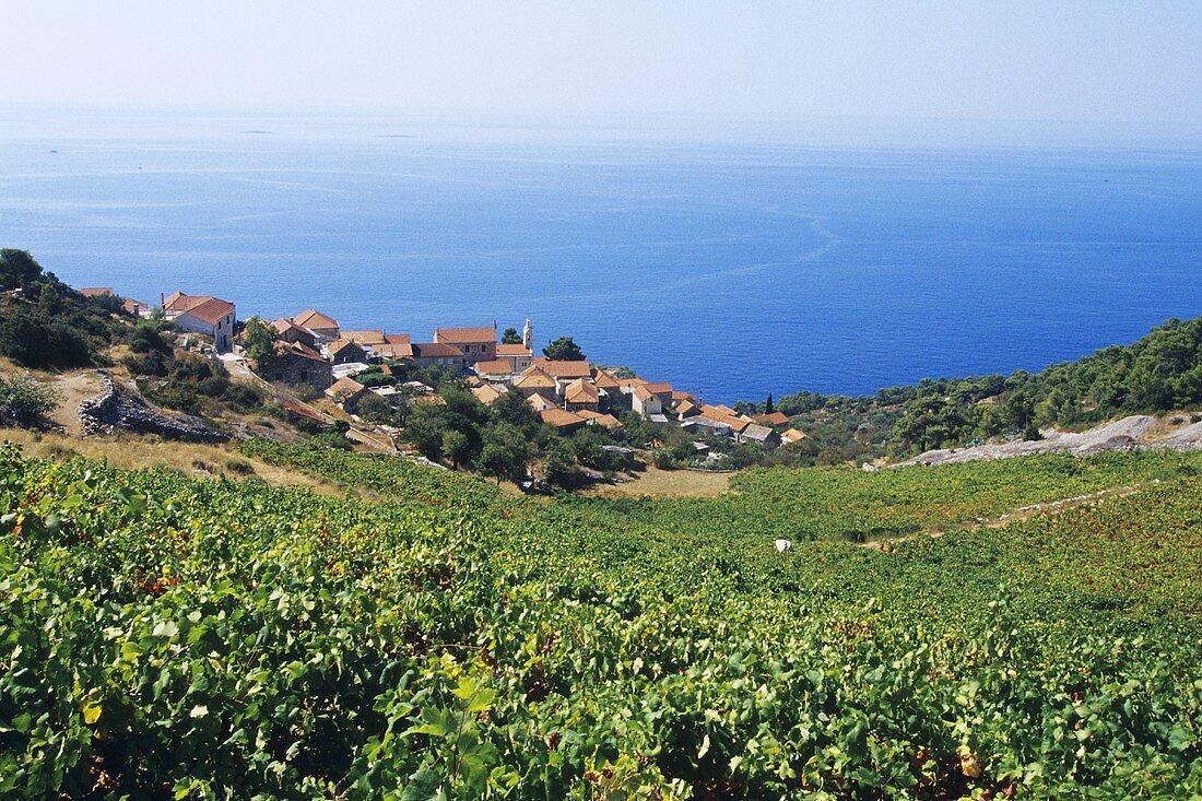 Landscape of vines near Sveta Nedelja, island of Hvar, Croatia