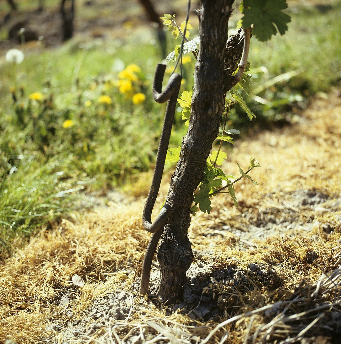 Vine with an old iron post to hold the wire framework