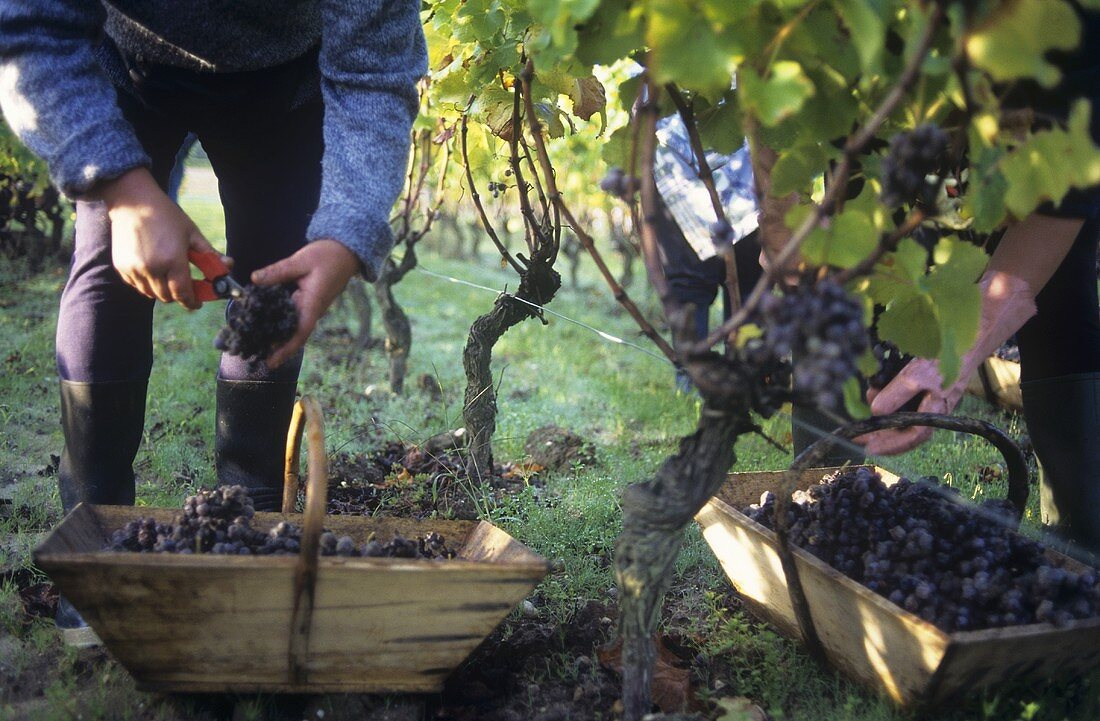 Picking Semillon grapes with noble rot, Sauternes