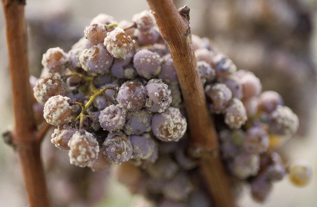 Semillon grapes with noble rot
