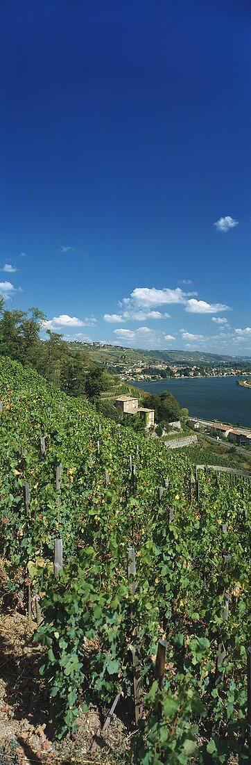 Vineyard of Château Grillet, Vérin, Rhône, France