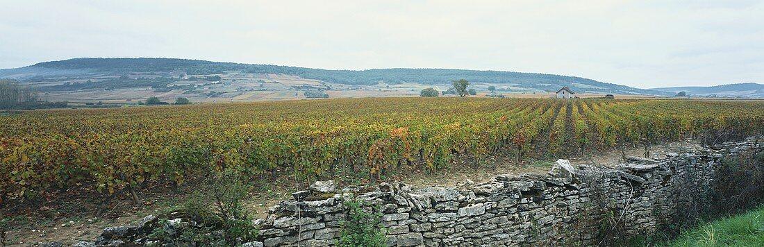 Wine-growing near Chassagne-Montrachet, Côte de Beaune, Burgundy, France