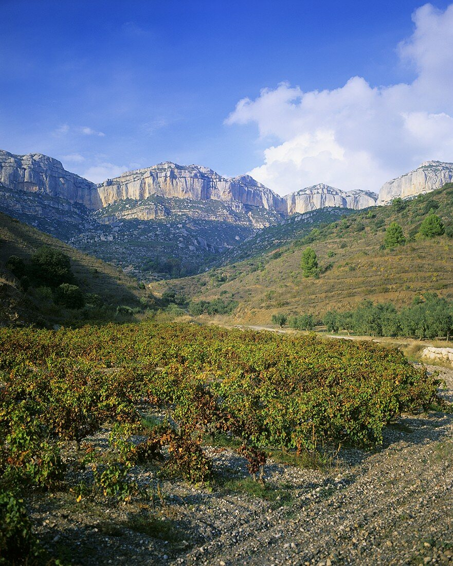 Wine growing near the village of Scala Dei, Priorato, Spain