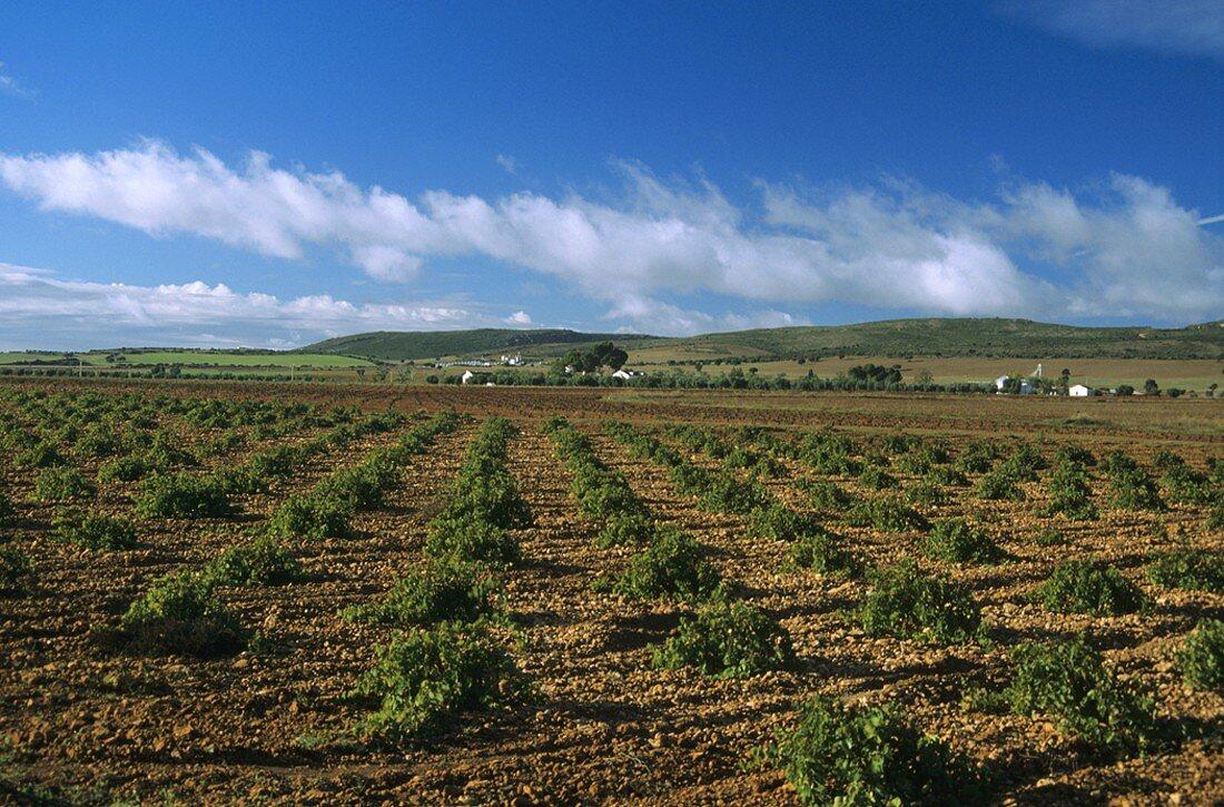 Wine-growing around the town of Valdepeñas, Valdepeñas, Spain
