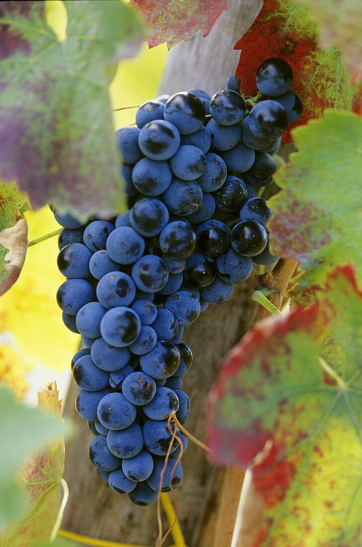 Aglianico grapes (grown in Campania and Basilicata)