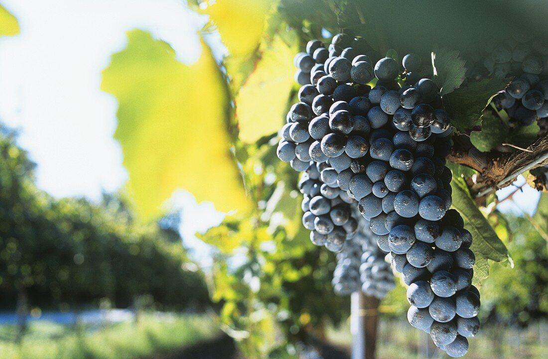 Aglianico grapes, Campania and Basilicata
