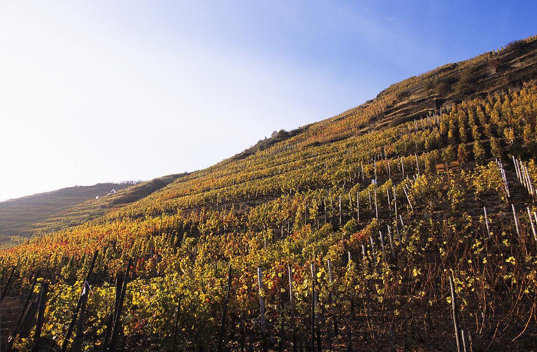 Wine-growing near Walporzheim, Rhineland-Palatinate, Germany