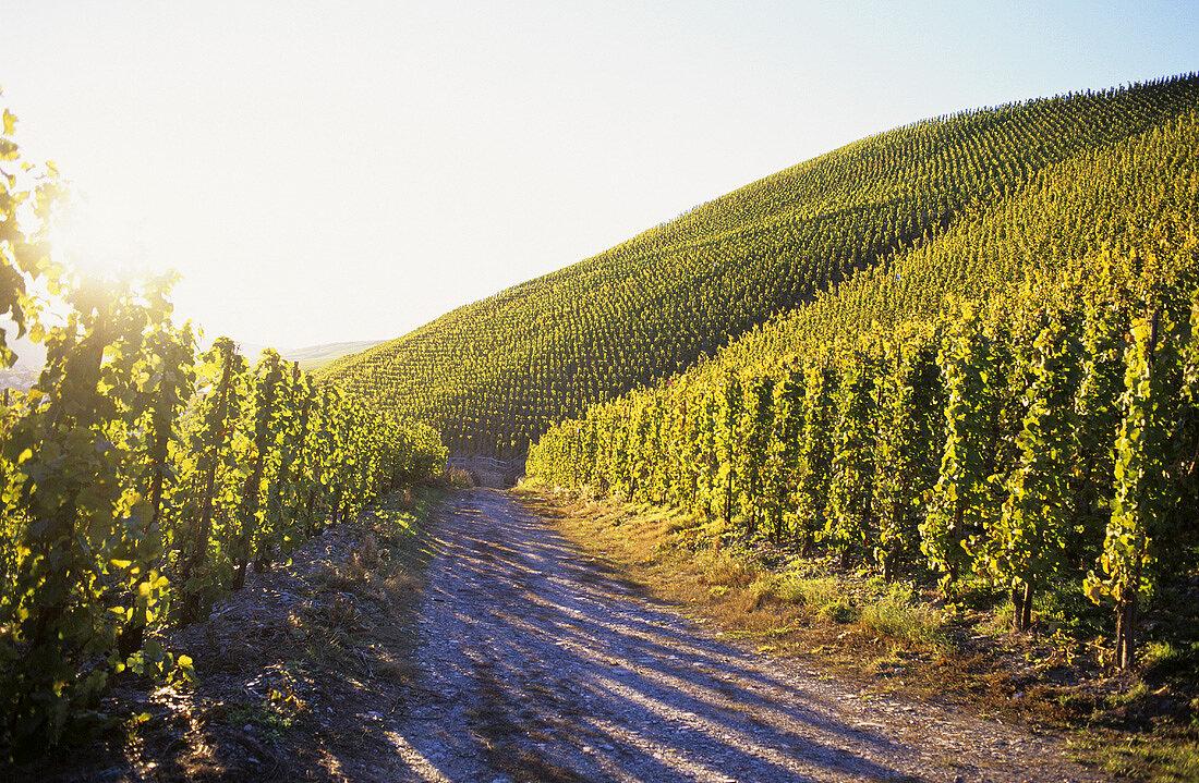 Riesling vines growing near Kröv, Mosel, Germany