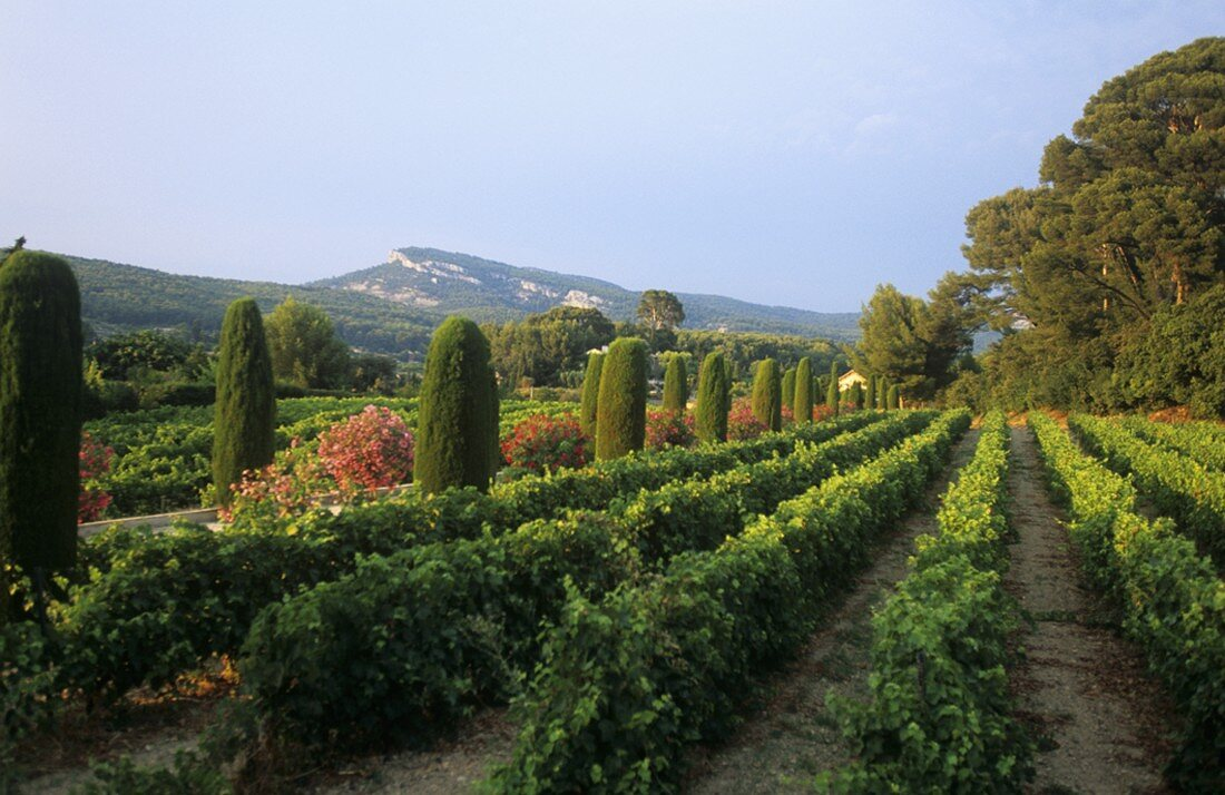 Wine-growing near Cassis, Provence, France