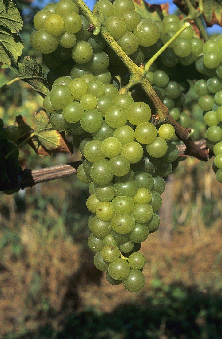 Alvarinho grapes hanging on the vine