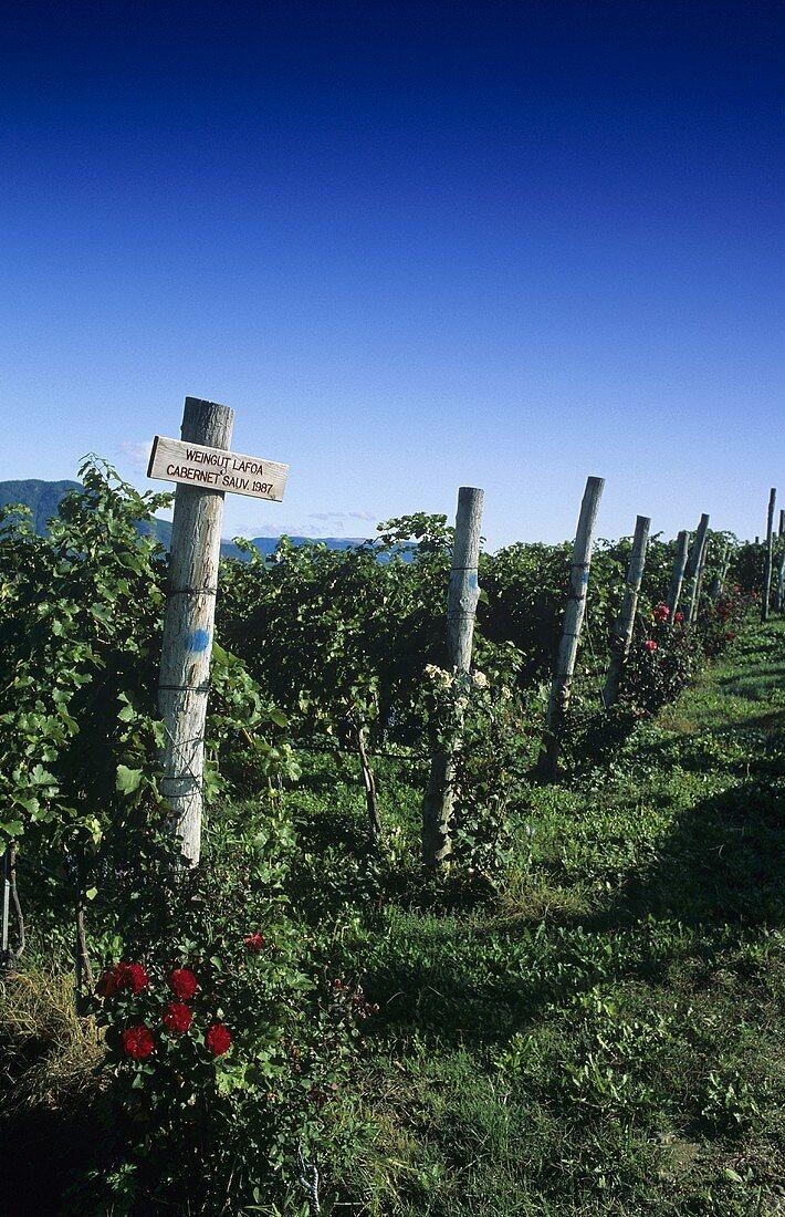 Vineyard of Schreckbichl (Colterenzio) Winery, Girlan, S. Tyrol, Italy