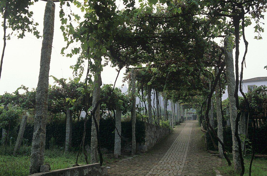 Pergola with grapes for Vinho Verde, Alto Douro, Portugal
