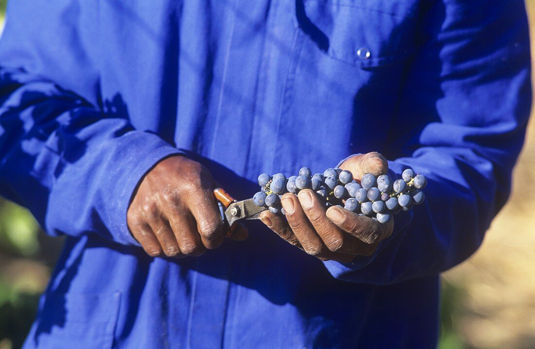 Man holding grapes and vine scissors, S. Africa