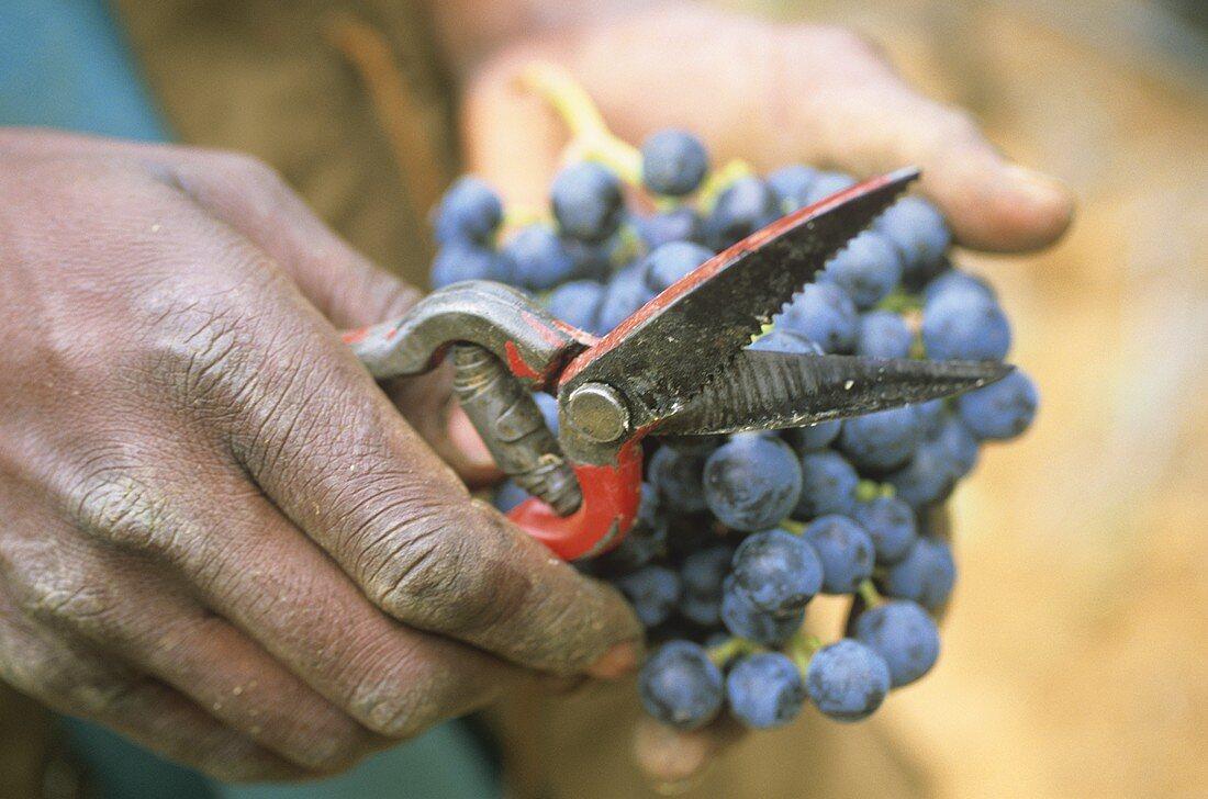 Picking Merlot grapes, Rustenberg Estate, Stellenbosch