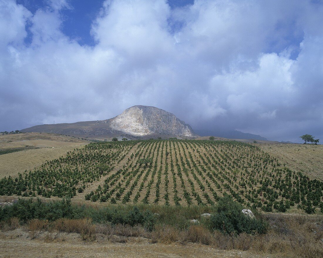 Vineyard near Caltabellotta, near Sciacca, Sicily, Italy