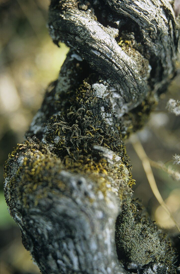An old Semillon grape, Entre-deux-Mers, France