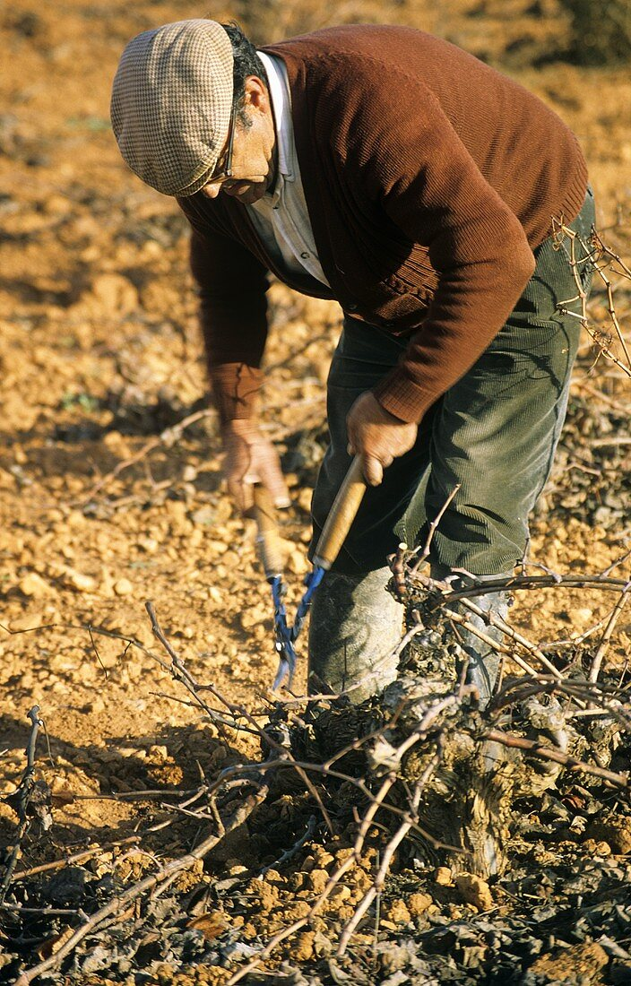 Winter vine pruning, Valdepenas, Spain