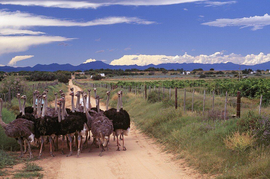 Strausse bei Grundheim Vineyards, Klein Karoo, Südafrika