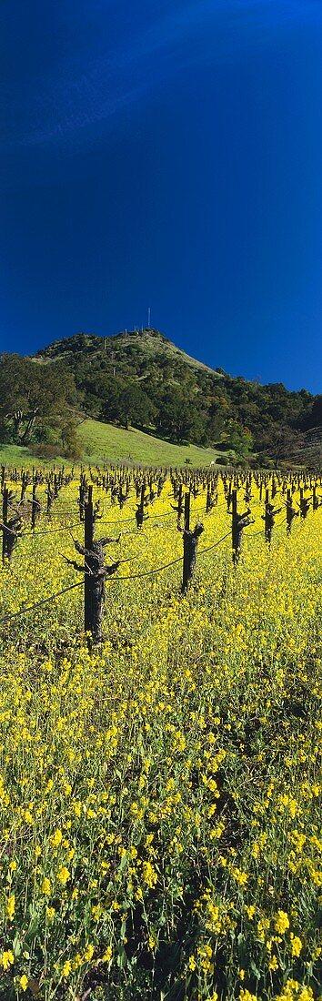 Flowering charlock, Shafer Vineyard, Napa Valley, Calif., USA